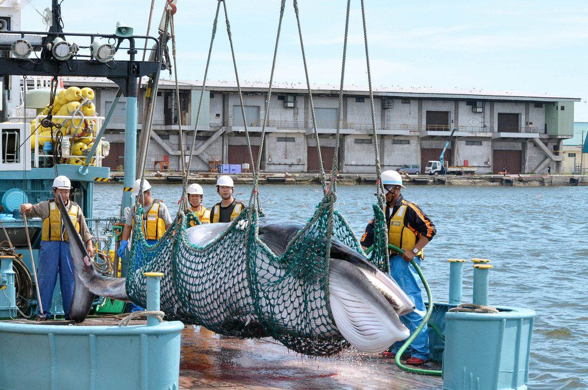 Unloading Japanese Whaling Ship