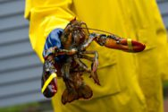 Maine's Lobster Tide May Be Ebbing -Fox